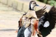 Ringed teal duck (Callonetta leucophrys) - Birds of Eden - South Africa