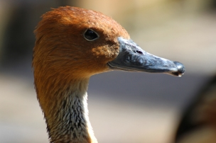 Portrait: Fulvous whistling duck or fulvous tree duck (Dendrocygna bicolor) - Birds of Eden - South Africa