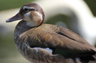 Female ringed teal duck (Callonetta leucophrys) - Birds of Eden - South Africa