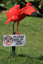 Please stay off the grass - Scarlet ibis (Eudocimus ruber) - Birds of Eden - South Africa