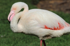 Greater flamingo (Phoenicopterus roseus) - Birds of Eden - South Africa