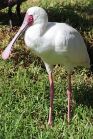 African spoonbill (Platalea alba) - Birds of Eden - South Africa