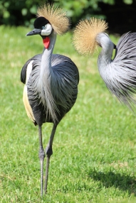 Grey crowned crane (Balearica regulorum) - Birds of Eden - South Africa