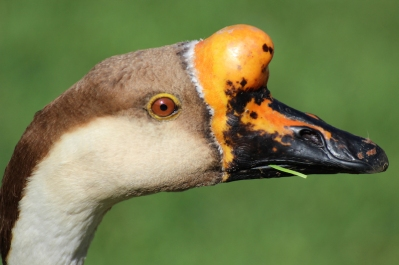 Portrait: Chinese goose - Birds of Eden - South Africa