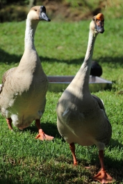 Chinese goose - Birds of Eden - South Africa