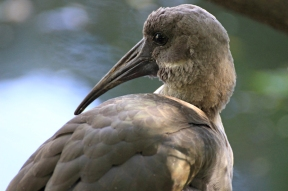 Hadada or hadeda ibis (Bostrychia hagedash) - Birds of Eden - South Africa