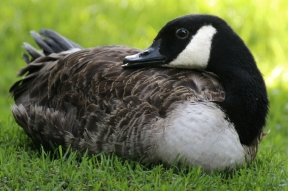 Canada goose (Branta canadensis) - Birds of Eden - South Africa