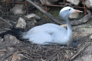 Blue crane (Grus paradisea), also known as the Stanley crane and the paradise crane - Birds of Eden - South Africa