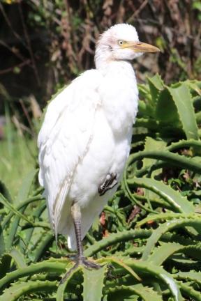 Snowy egret (Egretta thula) - Birds of Eden - South Africa