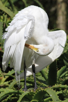 Snowy egret (Egretta thula) - Birds of Eden - South Africa