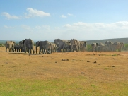 Herd of African bush elephants (Loxodonta africana) - Addo Elephant National Park - South Africa