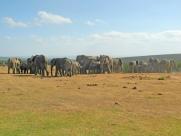 Herd of African bush elephants (Loxodonta africana) - Addo Elephant National Park - South Africa