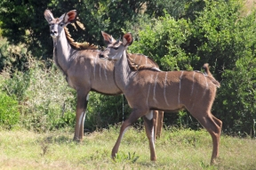 Greater kudu (Tragelaphus strepsiceros), two young males - Addo Elephant National Park - South Africa