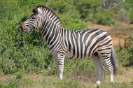 Profile view of plains zebra (Equus quagga) - Addo Elephant National Park - South Africa