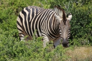 Plains zebra (Equus quagga) - Addo Elephant National Park - South Africa