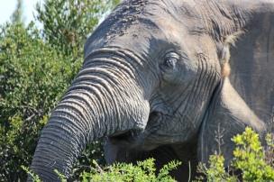 An African bush elephant having a bite (Loxodonta africana) - Addo Elephant National Park - South Africa