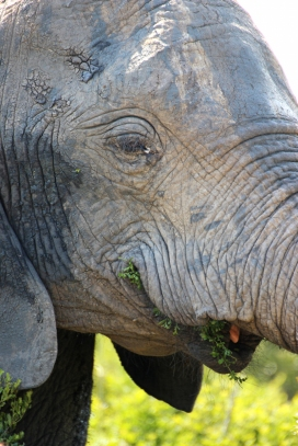 African bush elephant (Loxodonta africana) chewing its food - Addo Elephant National Park - South Africa