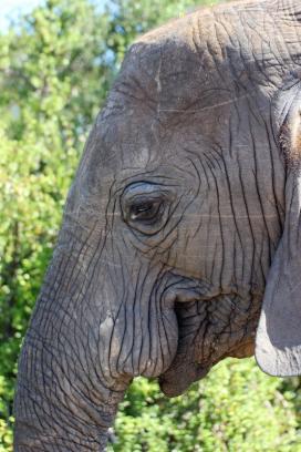 """The long nose"" - African bush elephant (Loxodonta africana) - Addo Elephant National Park - South Africa"