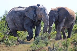 Two grey giants - African bush elephants (Loxodonta africana) - Addo Elephant National Park - South Africa