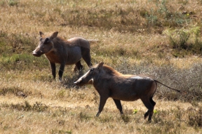 Common warthogs (Phacochoerus africanus) - Addo Elephant National Park - South Africa
