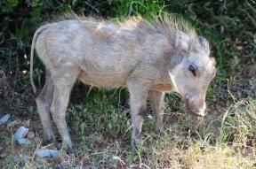 Common warthog baby (Phacochoerus africanus) - Addo Elephant National Park - South Africa
