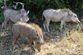 Three common warthog babies (Phacochoerus africanus) - Addo Elephant National Park - South Africa