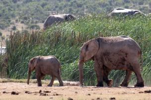 African bush elephants leaving the waterhole (Loxodonta africana) - Addo Elephant National Park - South Africa