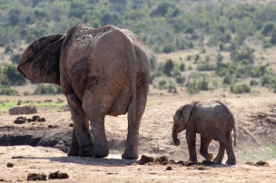 African bush elephant with baby (Loxodonta africana) - Addo Elephant National Park - South Africa