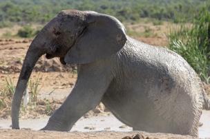 Leaving the bath half clean half dirty - African bush elephant (Loxodonta africana) - Addo Elephant National Park - South Africa