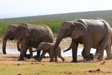 Let's hurry up after the bath - African bush elephants (Loxodonta africana) - Addo Elephant National Park - South Africa