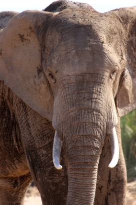 Portrait of an African bush elephant (Loxodonta africana) - Addo Elephant National Park - South Africa