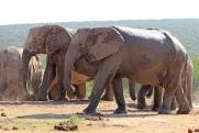 Two grey giants - African bush elephants (Loxodonta africana) - Addo Elephant National Park - South Africa