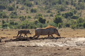 Common warthog with baby (Phacochoerus africanus) - Addo Elephant National Park - South Africa