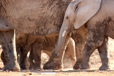 Legs and trunks - African bush elephants (Loxodonta africana) - Addo Elephant National Park - South Africa