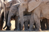 The four different sizes of African bush elephants (Loxodonta africana) - Addo Elephant National Park - South Africa