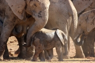 Mother with titties and baby - African bush elephants (Loxodonta africana) - Addo Elephant National Park - South Africa