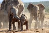 Big brother is teasing the baby elephant - African bush elephants (Loxodonta africana) - Addo Elephant National Park - South Africa