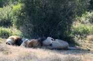 Male Southern African lions sleeping in the shadow (P. l. melanochaita) - Addo Elephant National Park - South Africa