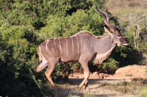 Male greater kudu (Tragelaphus strepsiceros) - Addo Elephant National Park - South Africa