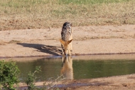 Black-backed jackal drinking at a waterhole (Canis mesomelas) - Addo Elephant National Park - South Africa