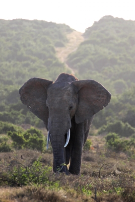 Portrait of a wild African bush elephant with landscape (Loxodonta africana) - Addo Elephant National Park - South Africa