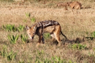 Black-backed jackal (Canis mesomelas) - Addo Elephant National Park - South Africa