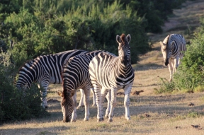 Group of plains zebras (Equus quagga) - Addo Elephant National Park - South Africa