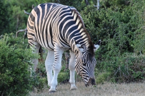 Plains zebra (Equus quagga) - Addo Elephant National Park - South Africa