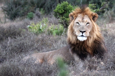I am watching you: Male Southern African lion (P. l. melanochaita) - Addo Elephant National Park - South Africa