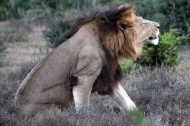 Southern African lion (P. l. melanochaita) - Addo Elephant National Park - South Africa