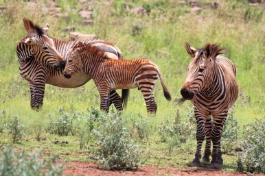 Hartmann's mountain zebra (Equus zebra hartmannae), Rhino and Lion Nature Reserve, South Africa