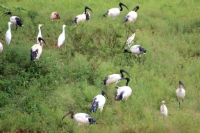 African sacred ibis (Threskiornis aethiopicus) and cattle egret (Bubulcus ibis), Rhino and Lion Nature Reserve, South Africa