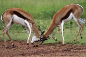 Springbok (Antidorcas marsupialis), Rhino and Lion Nature Reserve, South Africa