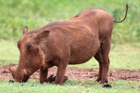 Common warthog (Phacochoerus africanus), Rhino and Lion Nature Reserve, South Africa